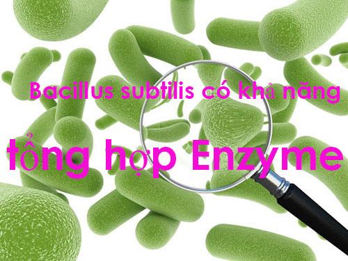 Bacillus subtilis có khả năng tổng hợp Enzyme
