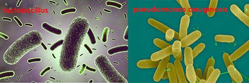 lactobacillus---pseudomonas-aeuginosa