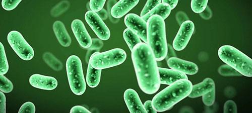 Vi khuẩn Bacillus subtilis