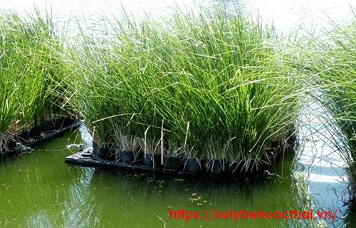 cỏ vetiver trong xử lý bùn thải nước thải